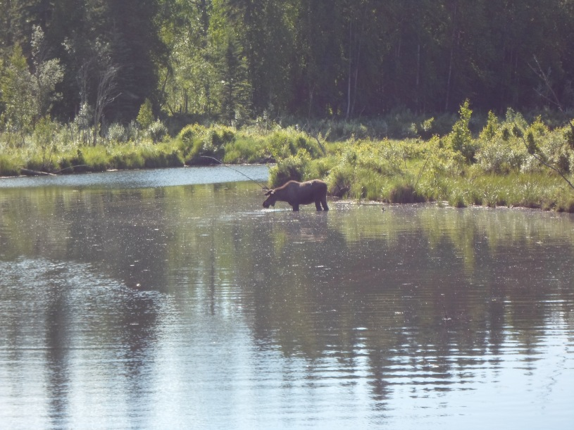 In Alaska - Moose eating - Chena Hot Springs Road